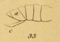 Amyot Rhynchotes Pl 2 (Fig 33).png