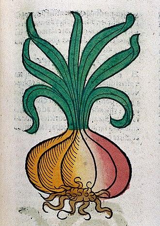 Onion - Woodcut, 1547