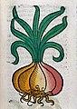 An onion, woodcut, 1547 Wellcome L0029214.jpg