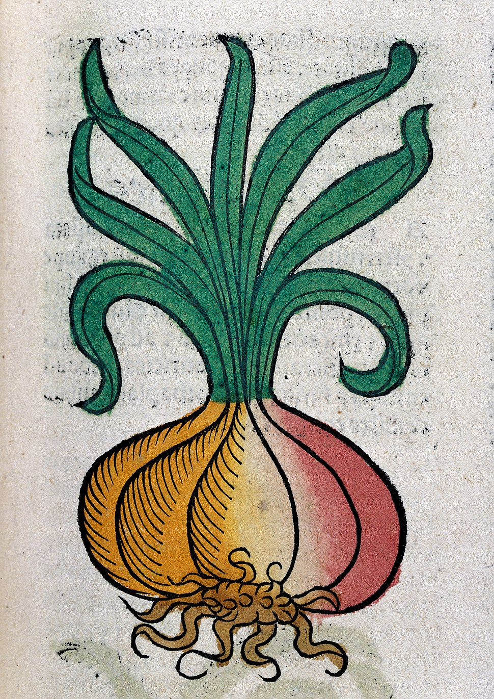 An onion, woodcut, 1547 Wellcome L0029214