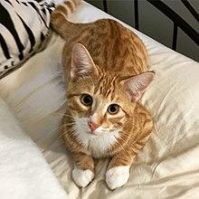 Cat intelligence - Wikipedia
