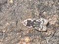 Anacampsis blattariella - Birch sober (39074319100).jpg