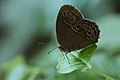 Andaman06 Bushbrown sp. (7999693739).jpg