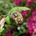 Andrena sp. female - Flickr - gailhampshire (1).jpg