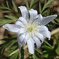 Anemone pseudoaltaica (n16).JPG