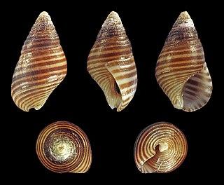 <i>Angiola lineata</i> Species of gastropod