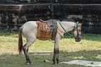 Angkor SiemReap Cambodia Horse-at-Angkor Wat-01.jpg