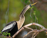 Anhinga-in-tree-1