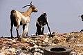 Animali e immondizia a dakar.jpg