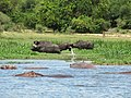 Animals near Nile in Murchison Falls National Park.JPG