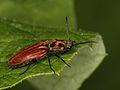 Anostirus purpureus (Elateridae), female (6952468435).jpg