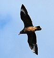 Antarctic Skua (cropped).jpg