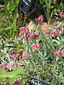 Antennaria dioica Duguid - Flickr - peganum.jpg