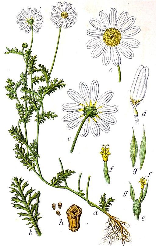 Anthemis arvensis Sturm13043