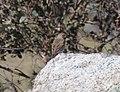Anthus australis (37089045914).jpg