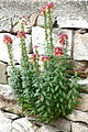 Antirrhinum majus from Thasos.JPG