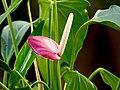 Anturio (Anthurium sp.) (14644098780).jpg