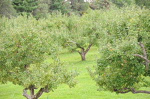English: An old apple orchard in Ottawa, Canada.