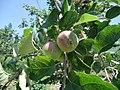 Apple Tree3.jpg