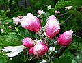 Apple blossom (9128748939).jpg