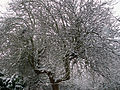 Apple tree, Grantham, Lincolnshire - Dec 2005.JPG