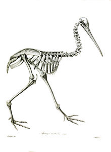 Apteryx Wikipedia La Enciclopedia Libre