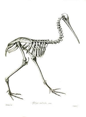 Southern brown kiwi - Skeleton