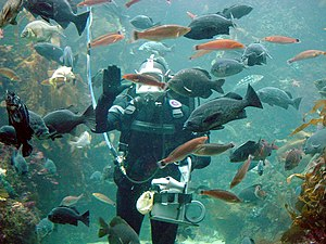 Surface-supplied diving - Surface-supplied diver at the Monterey Bay Aquarium, Monterey, California