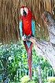 Ara chloropterus -Manati Park -Dominican Republic-8a.jpg