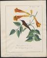 Arachnothera zeylonica - 1700-1880 - Print - Iconographia Zoologica - Special Collections University of Amsterdam - UBA01 IZ19000191.tif