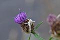 Araignées, insectes et fleurs de la forêt de Moulière (Les Chirons Noirs) (28757878000).jpg