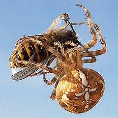 Araneus diadematus (Gartenkreuzspinne mit Wespe).jpg