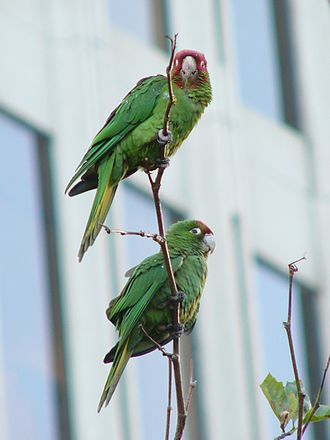 Telegraph Hill, San Francisco - Feral parrots of Telegraph Hill