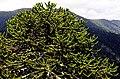 Araucaria 01.jpg