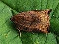 Archips podana ♀ - Large fruit-tree tortrix (female) - Листовёртка-толстушка всеядная (самка) (27426061028).jpg
