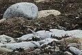 Arctic Tern (Sterna paradisea), Norwick - geograph.org.uk - 1900033.jpg