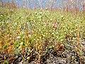 Arenaria serpyllifolia - thymeleaf sandwort - Flickr - Matt Lavin.jpg