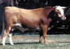 Argentine Criollo Bull.png