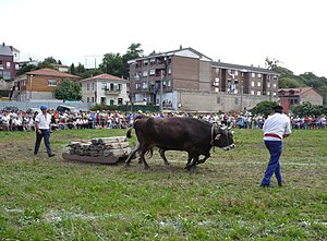 Bovine sports - Tudanca cows in a dragging competition in Cantabria, northern Spain.