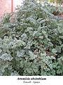 Artemisia absinthium 1.jpg