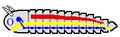 Arthropod body struct 01.png