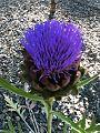 Artichoke flower closeup.JPG