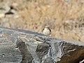 Asian Desert Warbler (Sylvia nana) (24740058687).jpg