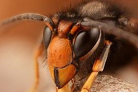 Asian hornet (33283876513) (2).jpg