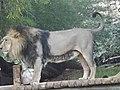 Asiatic Lion 15.jpg
