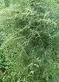 Asparagus verticillatus kz01.jpg