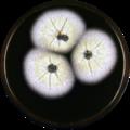 Aspergillus dromiae meaox.png