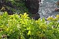Astydamia latifolia kz11.jpg