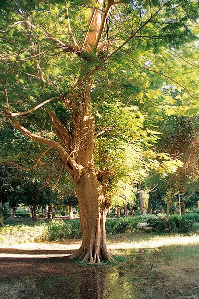 أصحابى وصحباتى ..تعرف / تعرفي على اجمل الحدائق في العالم / موضوع متجدد - صفحة 2 399px-Aswan%2C_Kitchener%27s_Island%2C_tree%2C_Egypt%2C_Oct_2004