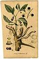 Atropa belladonna Mann.jpg